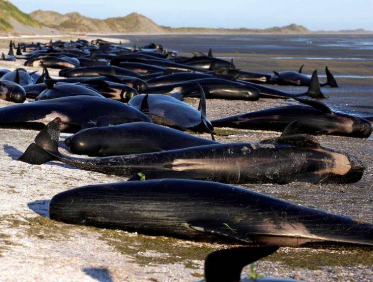 Nuova Zelanda, altra strage di balene. Morti 51 esemplari - MasterX