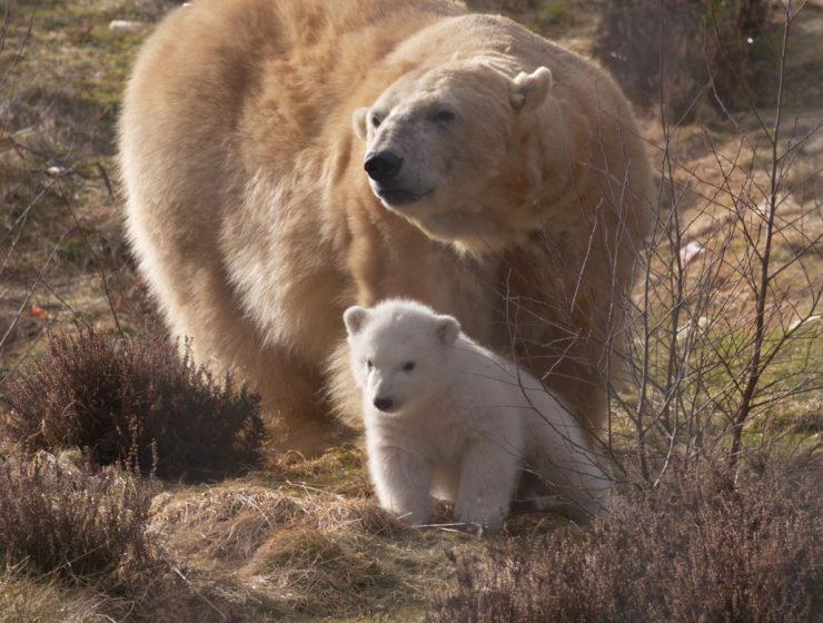 Russia, è stato d'emergenza per l'invasione degli orsi polari - MasterX